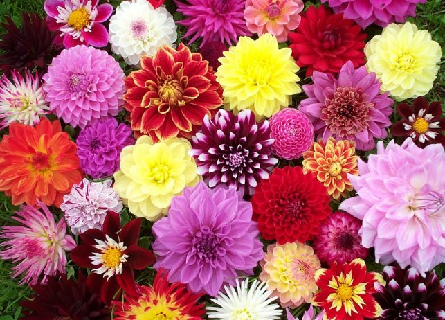 Dahlia is one of plant with endless flower classification for Flowers that look like dahlias