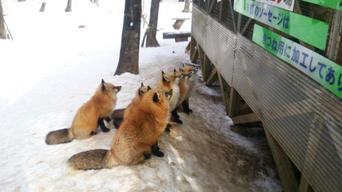 Magical Fox Village in Japan | Charismatic Planet Cute Siberian Tiger Cubs