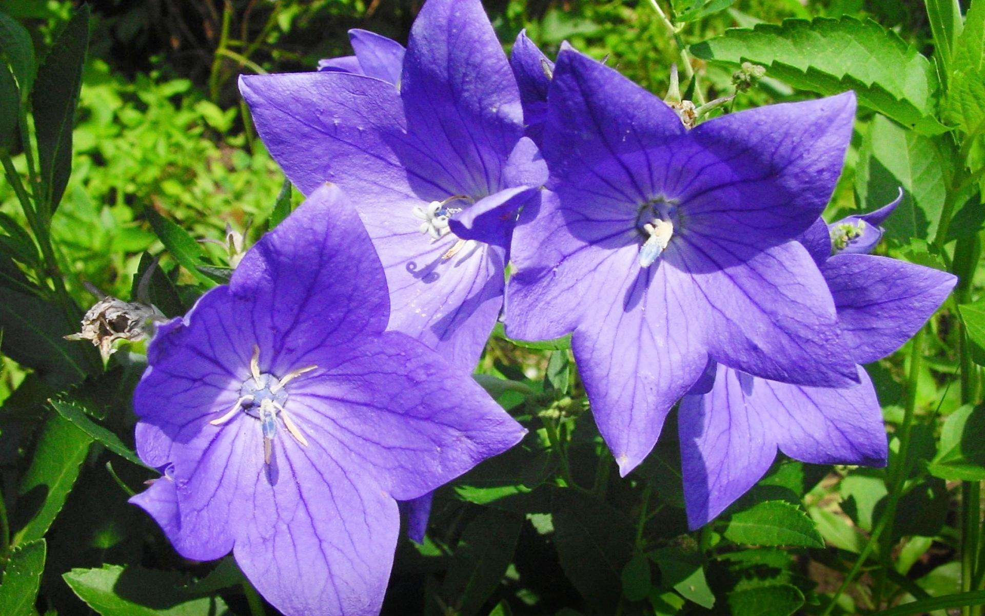 Balloon Flower Decorate Home and Garden