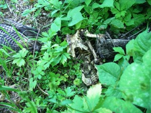 Mother Turkey Hen is Killed by a Predator