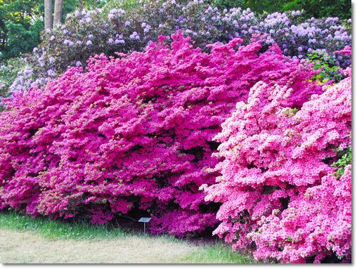 Rhododendron Park Graal-Müritz - © Liisa