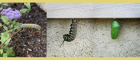 Monarch butterfly caterpillar turning into a chrysalis over a 24 hour period.