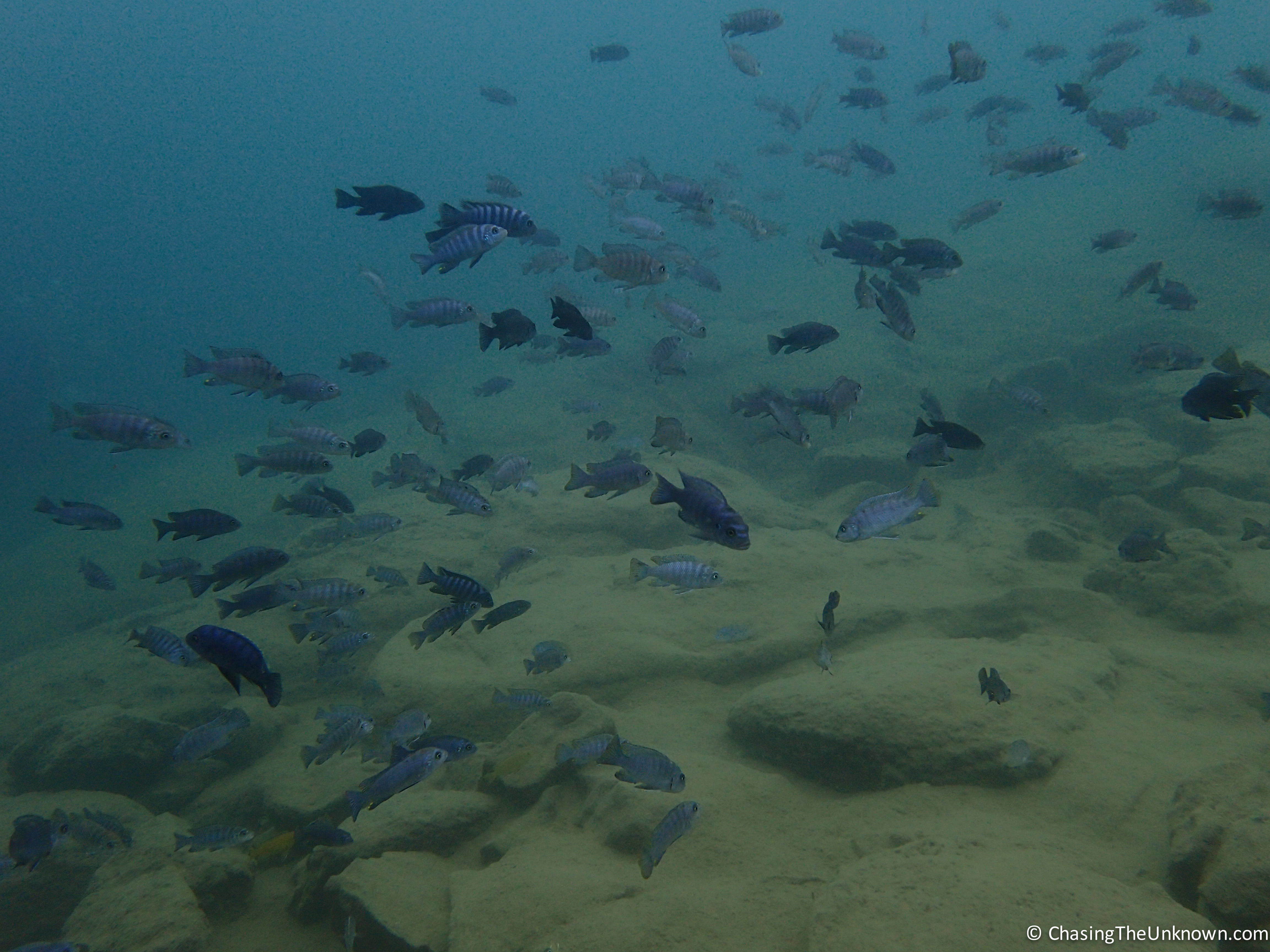 Diving in malawi chasing the unknown for Lake malawi fish