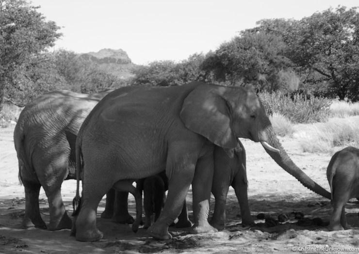 desert-elephants-bw
