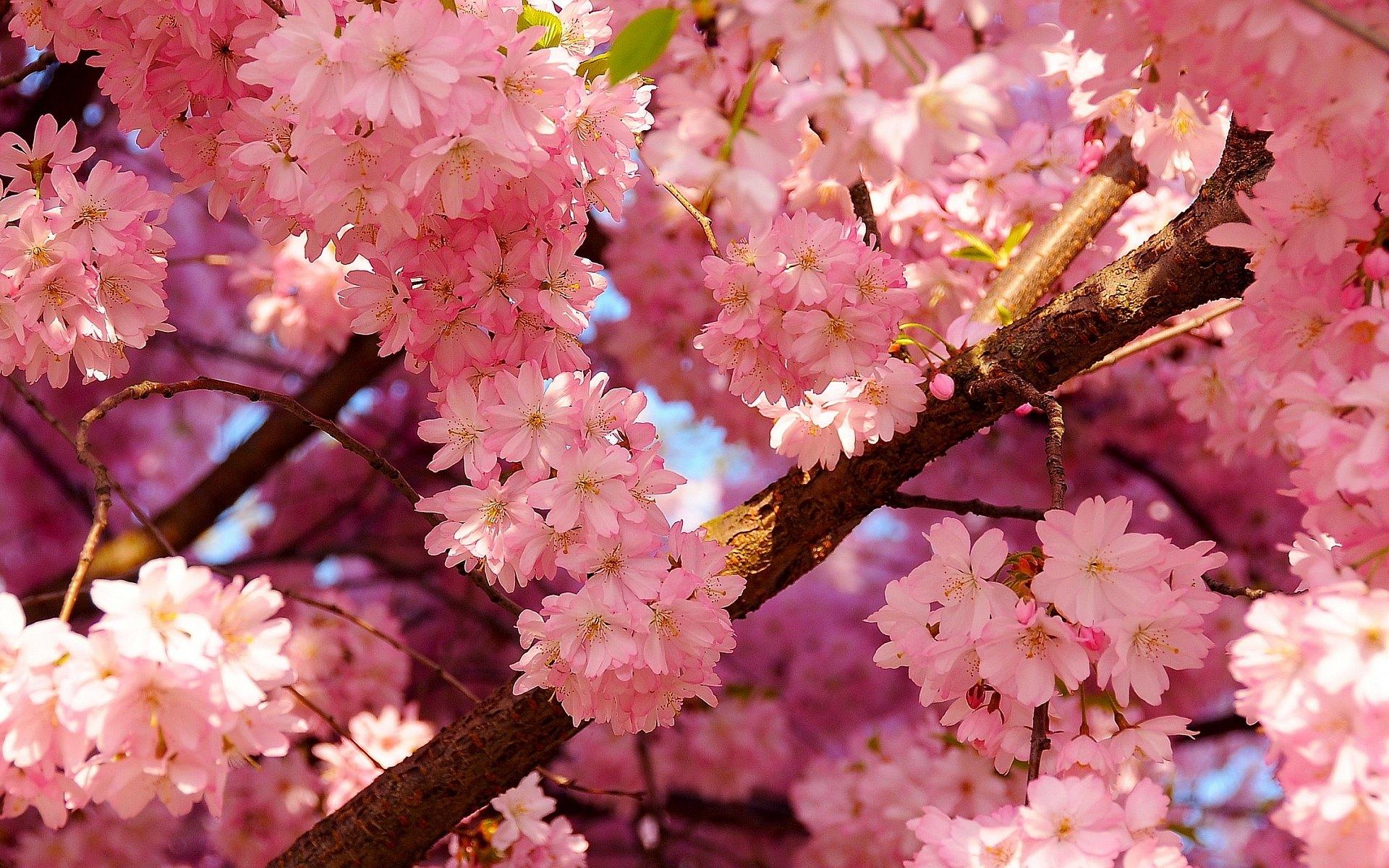 Missouri cherry blossom festival missouri cherry blossom Cherry blossom pictures