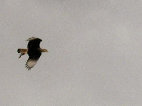 Foto de un aguilucho en vuelo
