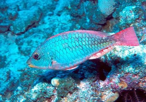 Juvenile Redband Parrotfish