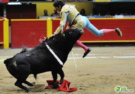 A bull lifts up a Spanish matador with its horns.