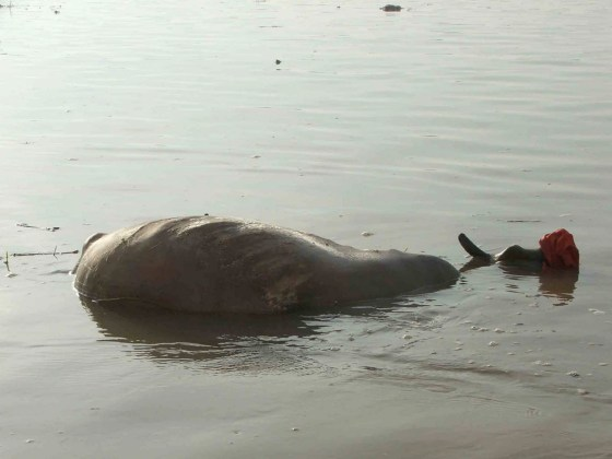 A dead animal carcass in the water in India.