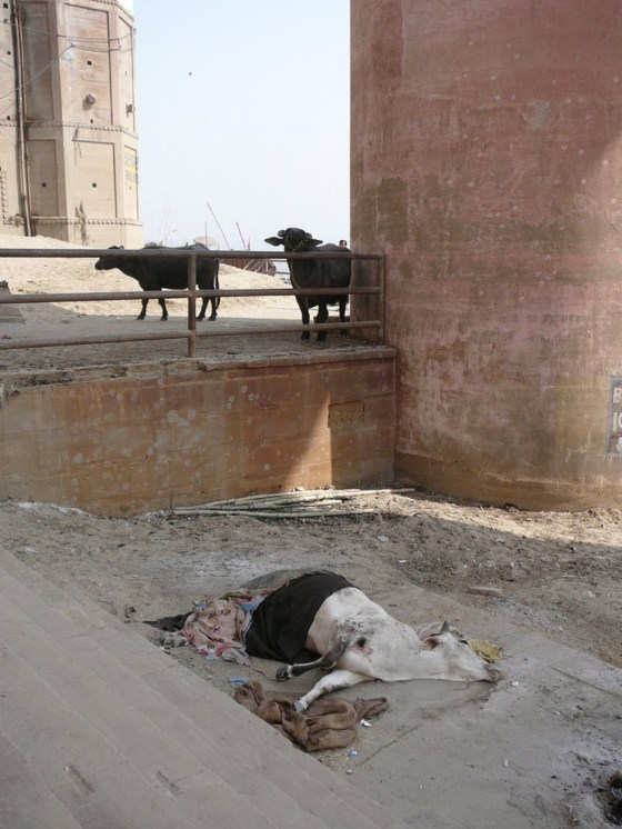 A dead cow lies in the sand in India.