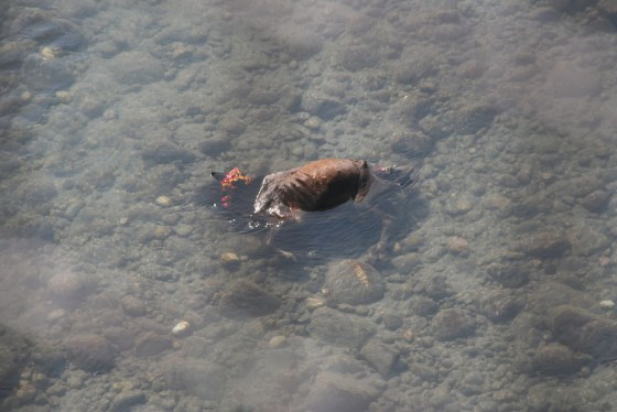 A dead cow's body submerged in the river water.
