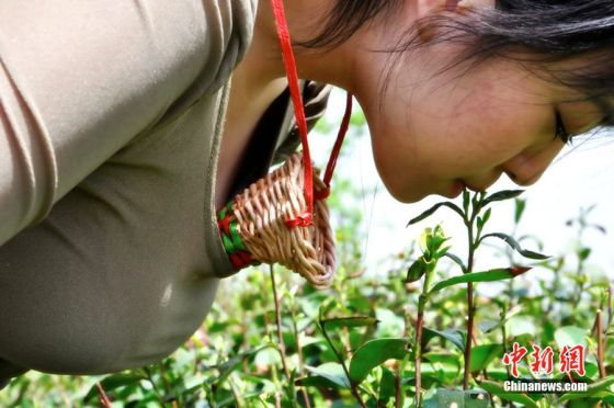 A Chinese tea leaf picking girl plucks tender tea leaves with her mouth before placing them in a willow funnel held between her breasts.
