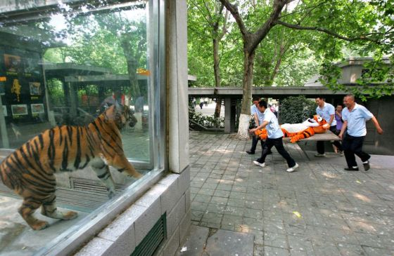 A zoo worker in a Tigger costume is carried away on a stretcher while a real tiger looks on from its cage.