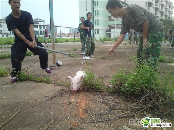 Chinese students around a pig allegedly being abused in Nanning, China.