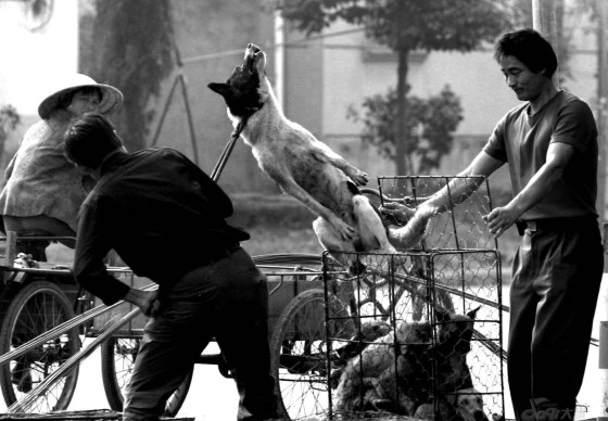Dogs being handled and soon to be butchered.