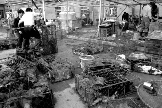 Dogs in cages as well as dogs being slaughtered and butchered for their meat.