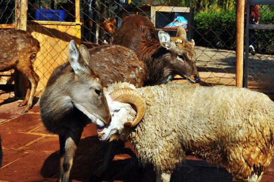 A sheep and deer fall in love in a Yunnan, China zoo.