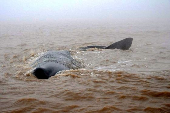 A whale struggles in shallow water in China.