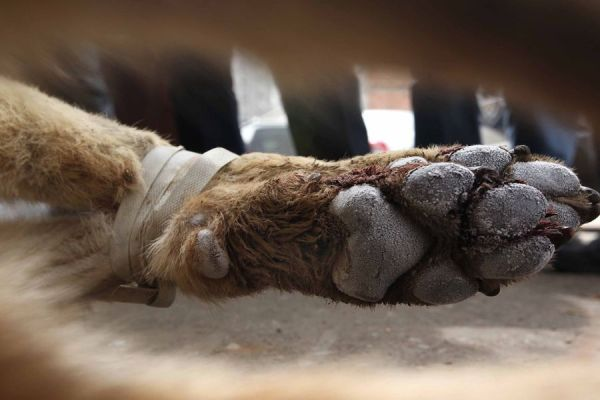 The paw of a grey wolf that was shot dead by Chinese police after a 20km long pursuit, following reports of attacks upon humans in Shandong province of China.