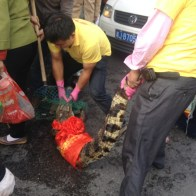 china-changsha-crabs-alligator-spilled-in-traffic-accident-looted-by-chinese-passerbys-17