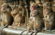 DisneyNature the Monkey Kingdom with Trailer
