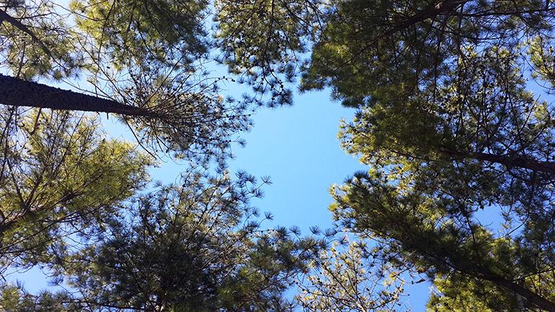 Lwitikila trees