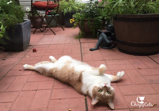 Cat lies on his back