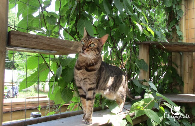 Bengal cat walks in catio