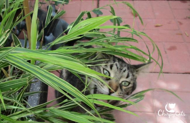 Cat chewing grass