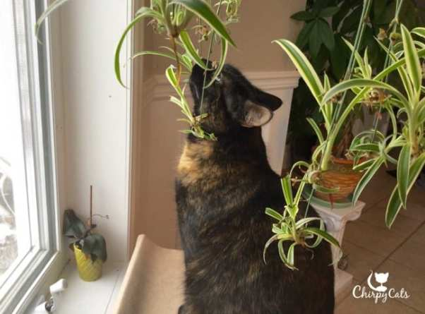 Home chirpy cats for Spider plant cats
