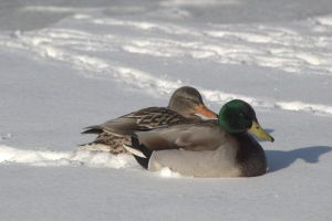 goodale_park_duck_s.jpeg