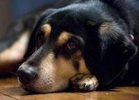 Labrador Shepherd Dog