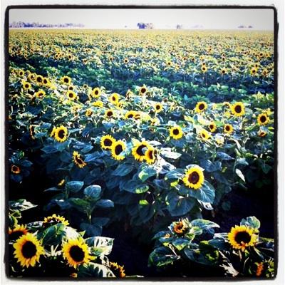 sunflower-fields_1S.jpg