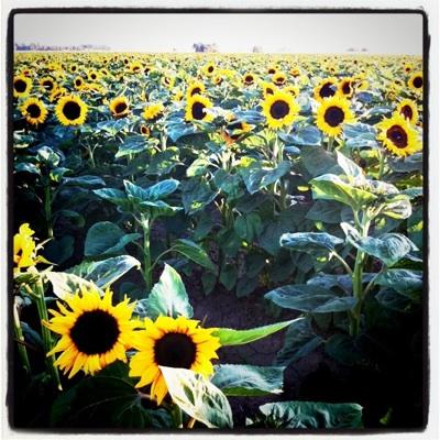 sunflower-fields_2S.jpg