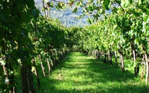 vitigno_greco_di_tufo_0
