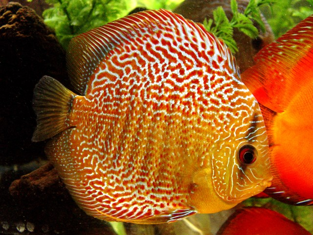 POINT BLANK ONLINE GAMES: Discus fish pictures part 1