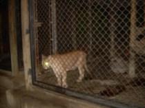 A puma outside of the San Juan de la Selva restaraunt