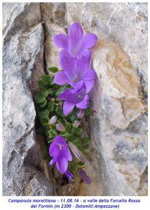 Parco nazionale delle Dolomiti bellunesi, campanula di Moretti