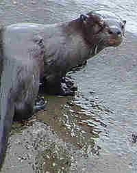 Parco nazionale Appennino Lucano, lontra