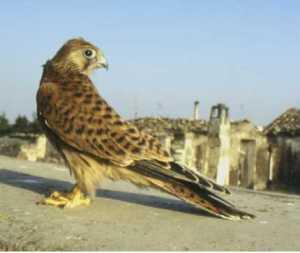 Parco nazionale dell'alta Murgia, il falco grillaio