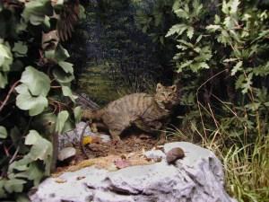 Parco nazionale di monti Sibillini, il gatto selvatico