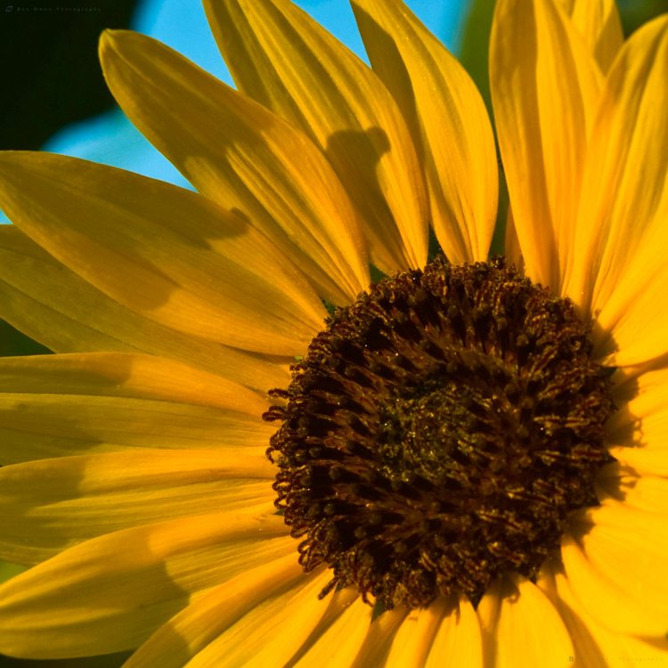 Sunflower CloseUp
