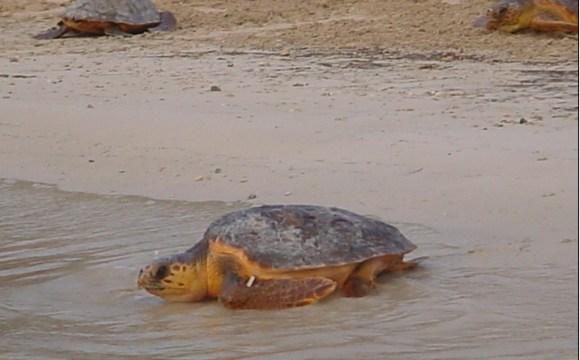 Porto Empedocle dà il benvenuto a 60 tartarughe marine!