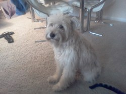 Small Of Wheaten Terrier Mix