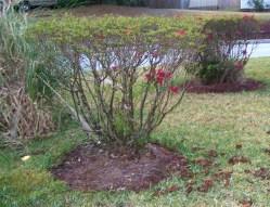Small Of When To Prune Azaleas