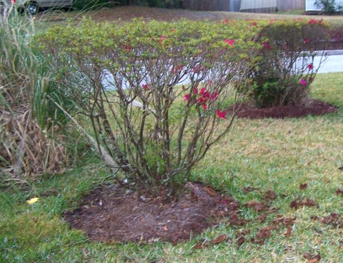Medium Of When To Prune Azaleas