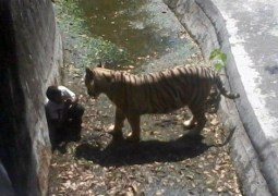 Tigre branco mata jovem em zoo da Índia