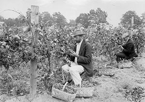Ohio Lake Erie Vineyards