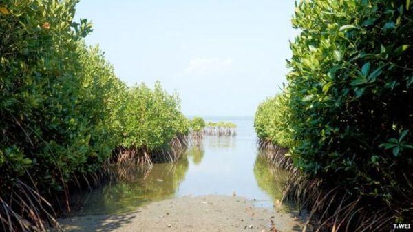 _82925637_seacology-mangroves-4