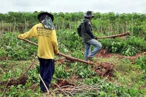 cassava_harvesting_thailand